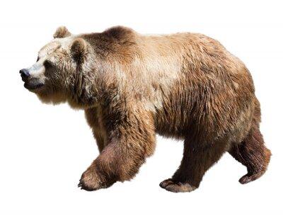 Obraz Niedźwiedź. Pojedynczo na białym