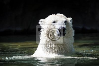 Niedźwiedź polarny w wodzie