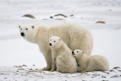 Obraz Niedźwiedź polarny z młodymi w tundrze. Kanada. Doskonałą ilustracją.