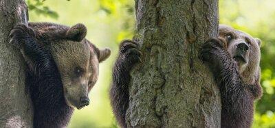Obraz niedźwiedzie brunatne on a drzew