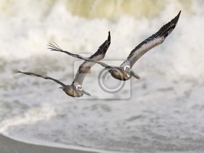 Nigdy nie zostawiaj skrzydłowym - Pelikany