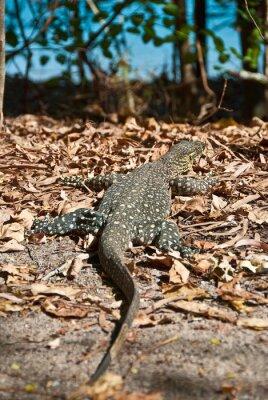 Obraz Obserwuj jaszczurka w Whitsundays