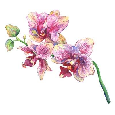 Obraz Oddział kwitnących tropikalnych różowe orchidee kwiatów, zbliżenie (Phalaenopsis, Orchis). Rysowane ręcznie akwarela malarstwa ilustracji na białym tle.