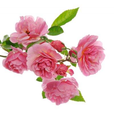Obraz oddział różowy róża pnąca
