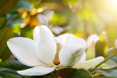 Obraz Oddział w kwiat białej magnolii bliska