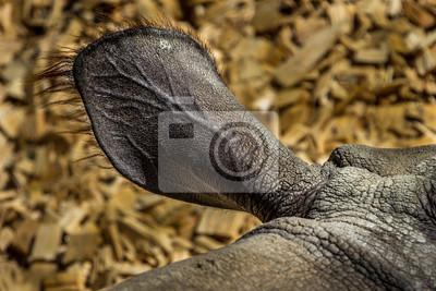 Ohr eines Nashorn