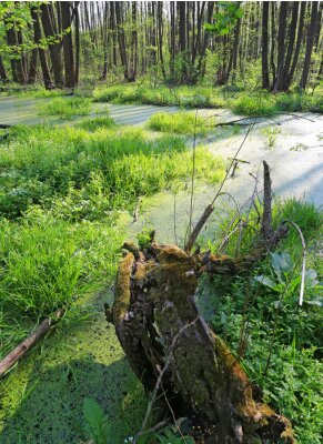 old wood with moss on green bog in forest