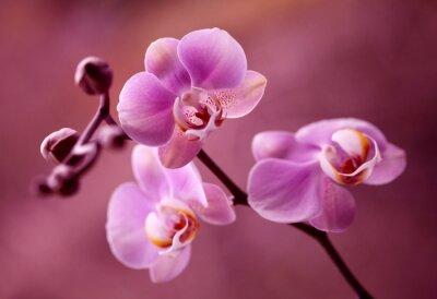 Obraz Orchidea - Storczyki fiolet