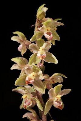 Obraz orchidée