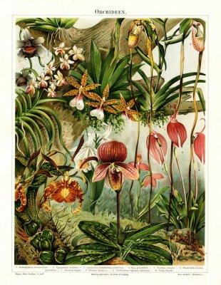 Obraz Orchidee (z Meyers Lexikon, 1896, 13/216/217)
