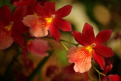 Obraz Orchidées à fleurs Rouge et jaune