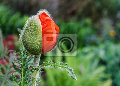 Oriental Poppy otwarcia