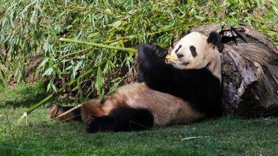 Obraz Oso Panda tumbado comiendo Bambú