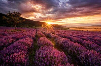 Obraz Oszałamiający krajobraz z pola lawendy na wschód słońca
