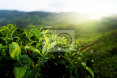 Pączek zielonej herbaty i świeże liście. Plantacje herbaty w Cameron Highland, Malezja ..