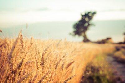 Obraz Paesaggio Campi di Campagna di grano e Al Tramonto