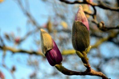 Obraz pąki magnolii