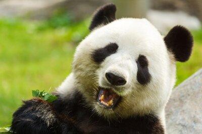Obraz Panda bear jedzenie bambusa