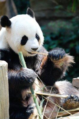 Obraz Panda ponosi jedzenia bambusa