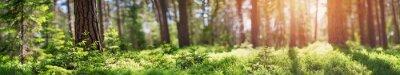 Obraz panorama lasu sosnowego i jodłowego na wiosnę. Ścieżka w parku