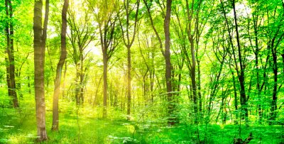 Panorama of green forest landscape with trees and sun light going through leaves