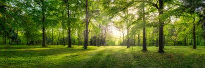 Obraz Panoramic view of a forest with sunlight shining through the trees