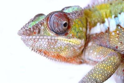 Obraz Panther Chameleon