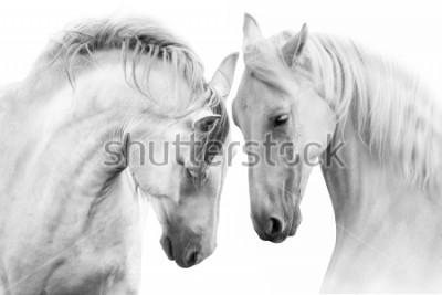 Obraz Para piękniejszych koni na białym tle. Obraz wysokiej kluczowych