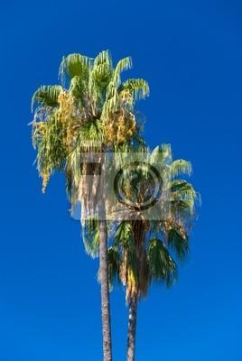 Para tropikalne palmy