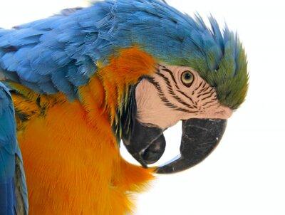 Obraz parrot bird animal  head