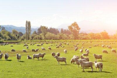 Obraz pastwisk ze zwierzętami w słoneczny letni dzień w Nowej Zelandii