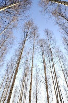 Obraz Patrząc w górę białe pnie grupą nagich drzew brzozy