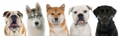 Obraz Pięć psów rasowych