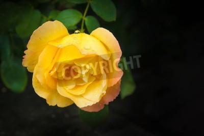 Piękna wielka kolor żółty róża z zielonymi liśćmi na ciemnym tle. Jeden kwiat. Wiejski ogród. Lato. Wolne miejsce na tekst