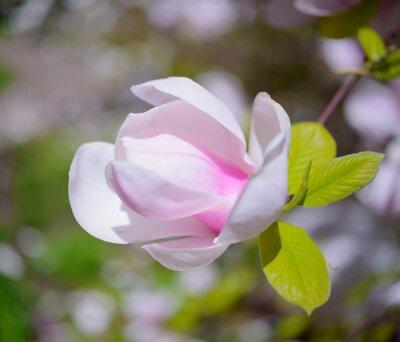 Obraz Piękne Różowe kwiaty magnolii. Wiosna Tło