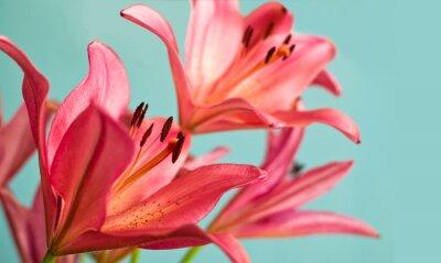 Obraz Piękne różowe lilie w tle