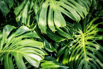 Obraz Piękne zielone liście tropikalne Monstera