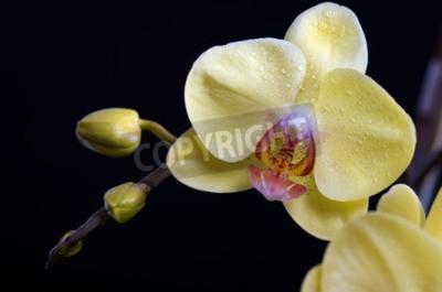 Obraz Piękny kolorowy kwiat Orchid, phalaenopsis na czarnym tle