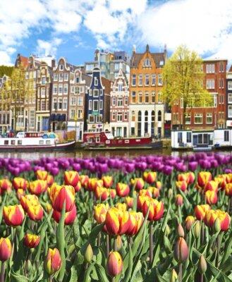 Obraz Piękny krajobraz z tulipanów i domy w Amsterdamie, Holandia