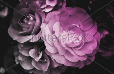 Obraz Piękny kwiat róży kwitnący kwiat. Zdjęcie przedstawia delikatny jasny krzew z dzikiej róży. Zamknij, widok makro. Czarny i biały