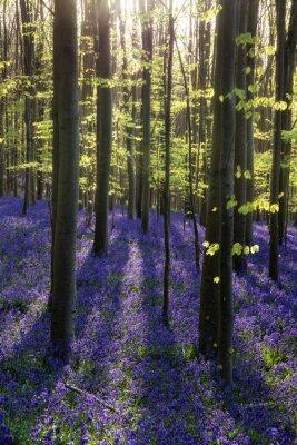 Obraz Piękny poranek w lesie przy wiosennym Bluebell ce belki throu