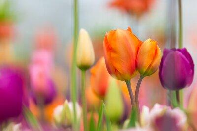 Obraz Piękny widok kolorowych tulipanów.