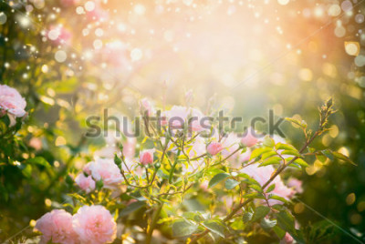 Obraz Pink pale roses bush over summer garden or park nature background. Roses garden, outdoor with sunshine and bokeh
