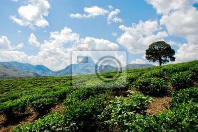 plantacji herbaty