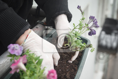 Obraz Planting flower garden. Female plants in pot plants forming a beautiful composition flower