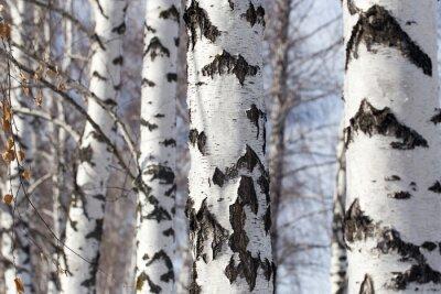 Obraz pnia brzozy w przyrodzie