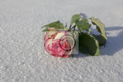 Pojedyncze różowy i żółty róża z zielonymi liśćmi na lodzie / śniegu tła