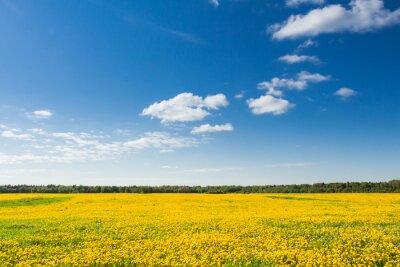 Obraz Pola żółte mlecze na tle błękitnego nieba.