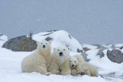 Obraz Polar niedźwiedzica z młodymi