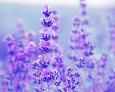 Obraz Pole kwiatów lawendy